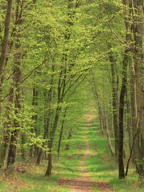 Narrow Path Through the Trees, Forest of Brotonne, Near Routout, Haute Normandie, France by Michael Busselle