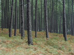 Pine Tree Trunks, Landes Forest, Near Lit Et Mixe, Landes, Aquitaine, France by Michael Busselle