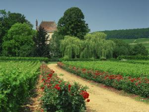 Roses and Vines in Vineyard Near Beaune, Cotes De Beaune, Burgundy, France, Europe by Michael Busselle