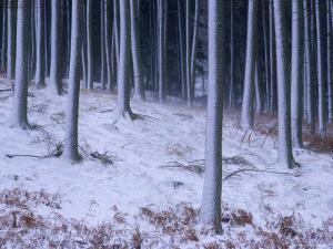 Tree Trunks Covered in Snow in Cumbria, England by Michael Busselle