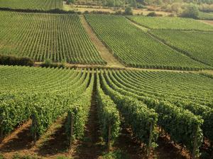 Vineyards Near Lugny, Burgundy (Bourgogne), France by Michael Busselle
