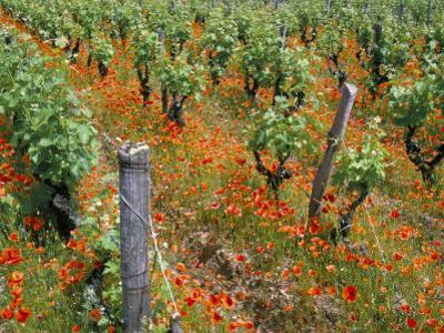 Vineyards Near Sauterne, Gironde, Aquitaine, France by Michael Busselle