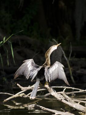 Anhinga (Anhinga Anhinga), Everglades, UNESCO World Heritage Site, Florida, USA, North America by Michael DeFreitas