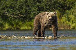 Grizzly or brown bear (Ursus arctos), Moraine Creek (River), Katmai NP and Reserve, Alaska by Michael DeFreitas
