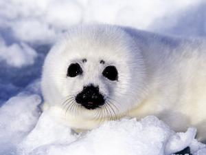 Harp Seal Pup, Gulf of St. Lawrence, Quebec, Canada by Michael DeFreitas