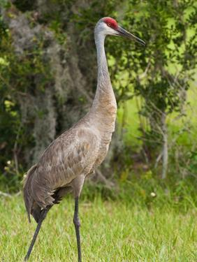 Sandhill Crane (Grus Canadensis), Everglades, Florida, United States of America, North America by Michael DeFreitas