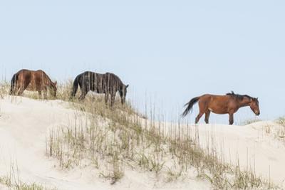 Wild Mustangs (Banker Horses) (Equus Ferus Caballus) in Currituck National Wildlife Refuge by Michael DeFreitas