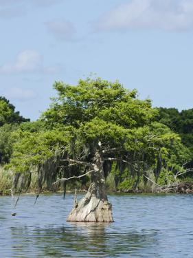 Young Cyprus Tree, Everglades, UNESCO World Heritage Site, Florida, USA, North America by Michael DeFreitas