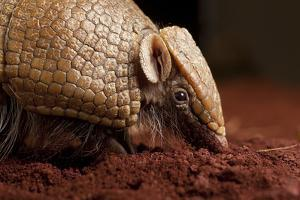 La Plata - Southern Three-Banded Armadillo (Tolypeutes Matacus) Foraging, Captive by Michael Durham