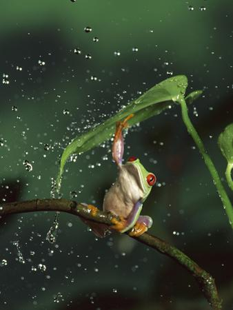 Red-Eyed Tree Frog (Agalychnis Callidryas) in Rain, Native to Central and South America by Michael Durham/Minden Pictures
