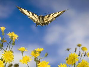 Western Tiger Swallowtail (Papilio Rutulus) Butterfly and Smooth Hawksbeard Flowers, Oregon by Michael Durham/Minden Pictures