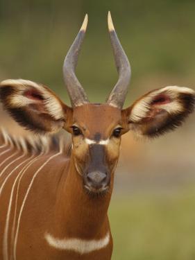 Portrait of a Bongo Antelope by Michael Fay