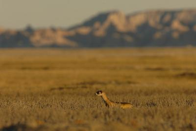 A Black-Footed Ferret at the Mouth of His Underground Den by Michael Forsberg