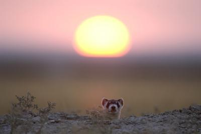 A Black-Footed Ferret, Mustela Nigripes, Peering from its Burrow at Sunset by Michael Forsberg