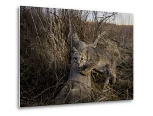 A Camera Trap Catches a Shot of a Bobcat on a Log by Michael Forsberg
