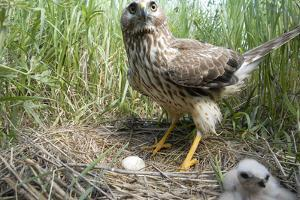A Female Northern Harrier Hawk with a Chick and an Egg in Her Nest by Michael Forsberg