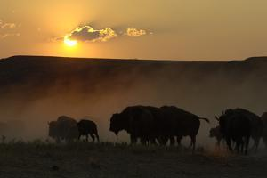 A Herd of American Bison, Bison Bison, Silhouetted at Sunset by Michael Forsberg