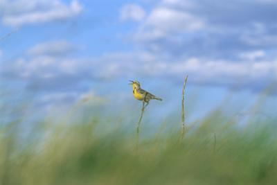 A Meadowlark Perches on a Yucca Plant by Michael Forsberg