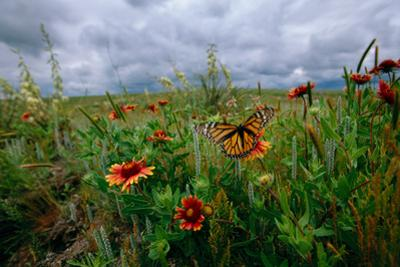 A Monarch Butterfly Lands on Wildflowers by Michael Forsberg