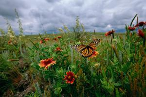A Monarch Butterfly Lands on Wildflowers by Michael Forsberg