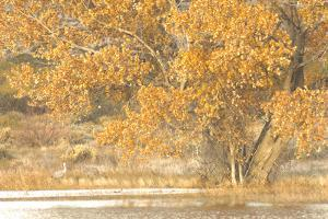 A Pair of Sandhill Cranes Walk under a Fall-Colored Tree on the Side of a Small Lake by Michael Forsberg