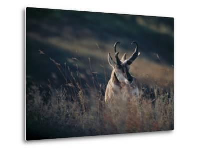 A Pronghorn Antelope Stands in a Field of Grass by Michael Forsberg