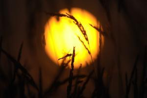 A Roosting Dragonfly and Grasses Silhouetted by the Setting Sun in Wetland by Michael Forsberg
