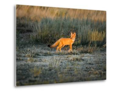 A Swift Fox Stands in the Setting Sun in the Prairie by Michael Forsberg