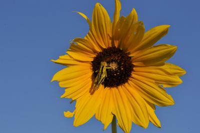 A Two-Striped Grasshopper on a Plains Sunflower by Michael Forsberg
