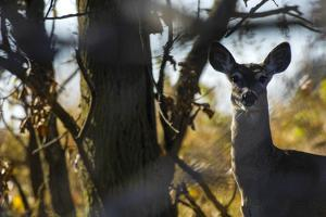 A White-Tailed Deer Doe, Odocoileus Virginianus, Peering Through the Trees by Michael Forsberg