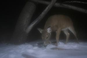 A White-Tailed Deer, Odocoileus Virginianus, Foraging in the Snow at Night, Caught by Camera Trap by Michael Forsberg