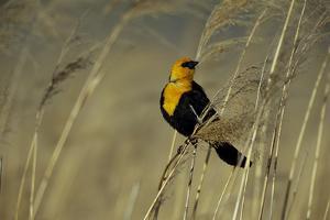 A Yellow-Headed Blackbird Perches in Prairie Grass by Michael Forsberg