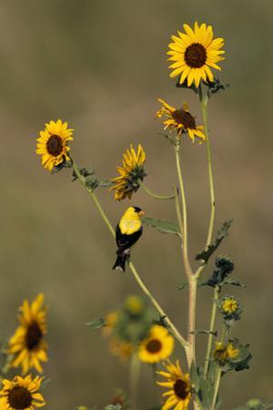 An American Goldfinch Perches on a Sunflower Stalk by Michael Forsberg