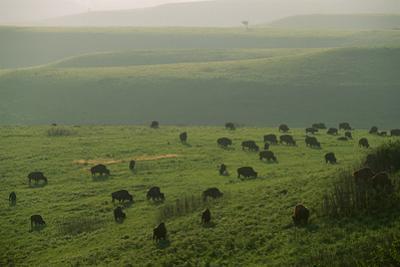 Bison Graze in the Flint Hills by Michael Forsberg