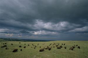 Bison Graze on a Prairie under Dark Clouds by Michael Forsberg