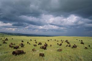 Bison Herd in the Niobrara Valley Preserve by Michael Forsberg
