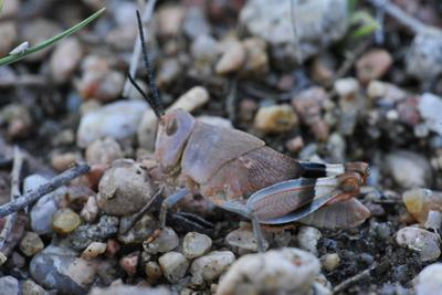 Close Up of a Long Horned Grasshopper Nymph, Tettigoniidae Family by Michael Forsberg
