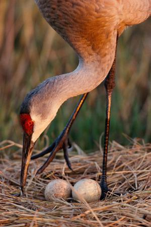 Close Up of a Sandhill Crane Tending to its Eggs