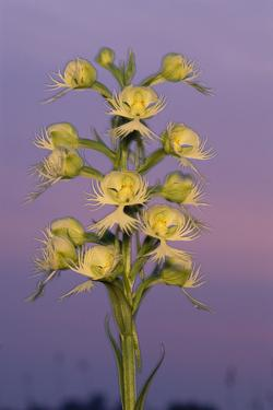 Close Up of a Western Prairie-Fringed Orchid Against a Purple Sky by Michael Forsberg