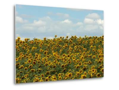 Faces of Sunflowers under a Blue Sky by Michael Forsberg