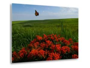 Monarch Butterflies Fly over the Prairie with Above Butterfly Milkweed in Bloom by Michael Forsberg