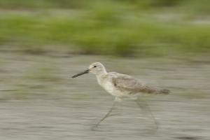 Portrait of a Willet, Catoprophorus Semipalmatus, Running by Michael Forsberg