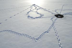 Prairie Dog Tracks in the Snow Leading from One Den to the Next by Michael Forsberg
