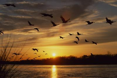 Sandhill Cranes Fly over the Platte River at Sunset by Michael Forsberg
