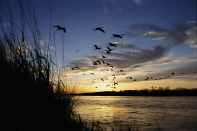 Sandhill Cranes Fly over the Platte River by Michael Forsberg