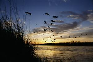Sandhill Cranes Fly over the Platte River by Michael Forsberg