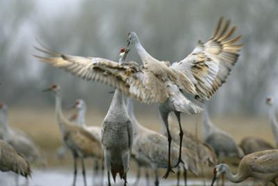 Sandhill Cranes Perform a Courtship Dance on the Platte River by Michael Forsberg