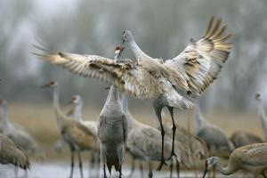 Sandhill Cranes Perform a Courtship Dance on the Platte River by Michael Forsberg