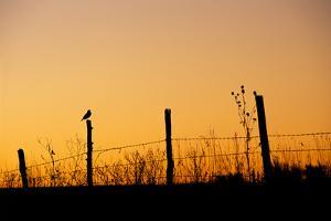 Silhouette of a Meadowlark Perched on a Fence by Michael Forsberg