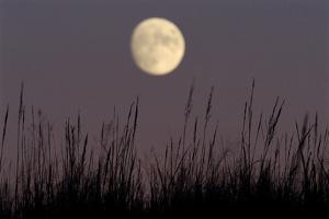 Silhouette of Indian Grass under the Moon by Michael Forsberg